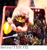 Купить «Морской ёж в мужской руке», фото № 7531172, снято 21 октября 2018 г. (c) Дарья Петренко / Фотобанк Лори