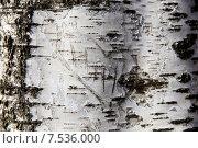 Березовая кора. Стоковое фото, фотограф Анастасия Козлова / Фотобанк Лори