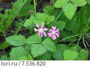 Купить «Цветы княженики. Rubus arcticus.», фото № 7536820, снято 9 июня 2015 г. (c) Григорий Писоцкий / Фотобанк Лори