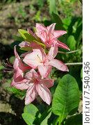 Купить «Рододендрон японский  (лат. Rhododendron japonicum)», эксклюзивное фото № 7540436, снято 8 июня 2015 г. (c) Елена Коромыслова / Фотобанк Лори