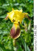 Купить «Желтый бородатый ирис (лат. Iris barbatus)», эксклюзивное фото № 7540760, снято 6 июня 2015 г. (c) Елена Коромыслова / Фотобанк Лори