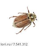 Майский жук на белом фоне изолировано. Стоковое фото, фотограф Наталья Волкова / Фотобанк Лори