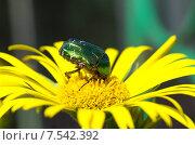 Бронзовка золотистая (лат. Cetonia aurata) на цветке Дороникума. Стоковое фото, фотограф Елена Коромыслова / Фотобанк Лори