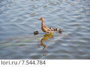 Купить «Утка с утятами на трубе в пруду», эксклюзивное фото № 7544784, снято 7 июня 2015 г. (c) Алёшина Оксана / Фотобанк Лори