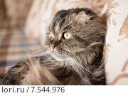 Вислоухий кот лежит на диване. Стоковое фото, фотограф Ксения Козырь / Фотобанк Лори