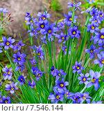 Купить «Сисиринхиум узколистный (Sisyrinchium angustifolium). Многолетнее травянистое растение семейства Ирисовые (Iridaceae).», фото № 7546144, снято 25 июня 2013 г. (c) Евгений Мухортов / Фотобанк Лори