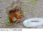 Купить «Белка у пакета с орехами», фото № 7549644, снято 13 июня 2015 г. (c) Александр Тарасенков / Фотобанк Лори