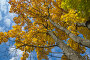 Осенние клены, фон, эксклюзивное фото № 7551656, снято 2 октября 2014 г. (c) Елена Коромыслова / Фотобанк Лори