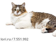 Кошка с зелеными глазами крупным планом на белом фоне. Стоковое фото, фотограф Ласточкин Евгений / Фотобанк Лори