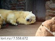 Спящий белый медведь в зоопарке. Стоковое фото, фотограф Лукьянов Павел / Фотобанк Лори