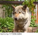 Волк в зоопарке. Стоковое фото, фотограф Лукьянов Павел / Фотобанк Лори