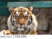 Портрет тигра. Стоковое фото, фотограф Лукьянов Павел / Фотобанк Лори