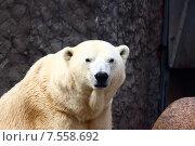 Полярный медведь. Стоковое фото, фотограф Лукьянов Павел / Фотобанк Лори