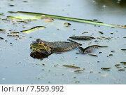 Жаба в пруду. Стоковое фото, фотограф Евгений Виноградов / Фотобанк Лори