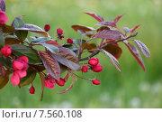 Купить «Бутоны красных цветков яблони на фоне зелени», фото № 7560108, снято 28 мая 2015 г. (c) Максим Мицун / Фотобанк Лори