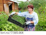 Купить «Женщина с сорняками на дачном участке», эксклюзивное фото № 7565064, снято 11 сентября 2010 г. (c) Юрий Морозов / Фотобанк Лори