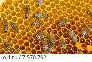Купить «Рабочие пчелы на медовых сотах», фото № 7570792, снято 3 июля 2013 г. (c) Iordache Magdalena / Фотобанк Лори