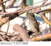 Лесной Конек, лесная щеврица, птица. Anthus trivialis. Стоковое фото, фотограф Дудакова / Фотобанк Лори