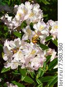 Купить «Олеандр обыкновенный (лат. Nerium oleander)», эксклюзивное фото № 7580360, снято 10 июня 2015 г. (c) lana1501 / Фотобанк Лори