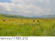 Поле с сеном в рулонах. Стоковое фото, фотограф Анна Алексеева / Фотобанк Лори