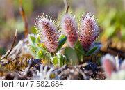 Купить «Цветет ива полярная на Чукотском полуострове», фото № 7582684, снято 18 июня 2015 г. (c) Максим Антипин / Фотобанк Лори