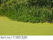 Купить «Зеленая тина на заболоченном водоеме», эксклюзивное фото № 7583528, снято 18 июня 2015 г. (c) lana1501 / Фотобанк Лори