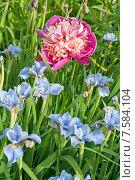 Купить «Розовый  сортовой пион среди голубых ирисов (лат. Paeonia)», эксклюзивное фото № 7584104, снято 20 июня 2015 г. (c) Svet / Фотобанк Лори