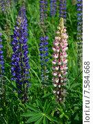 Купить «Люпин многолистный (лат. Lupinus polyphyllus)», эксклюзивное фото № 7584668, снято 14 июня 2015 г. (c) lana1501 / Фотобанк Лори