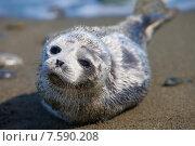 Купить «Детеныш кольчатой нерпы на песчаном пляже Берингова пролива», фото № 7590208, снято 5 июня 2015 г. (c) Максим Антипин / Фотобанк Лори