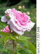 Купить «Розовые садовые розы (лат. Rosa)», эксклюзивное фото № 7597848, снято 20 июня 2015 г. (c) Svet / Фотобанк Лори