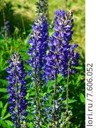 Купить «Люпин многолистный (лат. Lupinus polyphyllus)», эксклюзивное фото № 7606052, снято 14 июня 2015 г. (c) lana1501 / Фотобанк Лори
