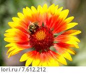 Пчела собирает пыльцу на цветке гайлардии. Стоковое фото, фотограф Дудакова / Фотобанк Лори
