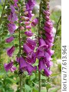 Купить «Цветущая наперстянка пурпурная (Digitalis purpurea L.)», фото № 7613964, снято 17 июня 2015 г. (c) Ирина Борсученко / Фотобанк Лори