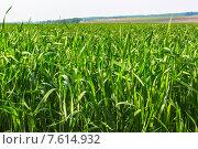 Поле зеленой травы. Стоковое фото, фотограф Александр Бекишев / Фотобанк Лори