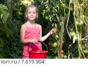 Девочка собирает помидоры в саду. Стоковое фото, фотограф Евгений Чернецов / Фотобанк Лори