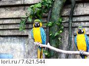 Два попугая сидят на ветке. Стоковое фото, фотограф Анастасия Андрюхина / Фотобанк Лори