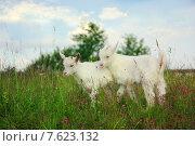 Два козлёнка пасутся на зелёном лугу на фоне голубого неба. Стоковое фото, фотограф Витолина Бычок / Фотобанк Лори