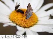 Бабочка на ромашке. Стоковое фото, фотограф Валентин Родоманов / Фотобанк Лори