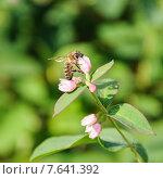 Купить «Пчела собирает нектар на цветке снежноягодника белого (Symphoricarpos albus)», эксклюзивное фото № 7641392, снято 1 июля 2015 г. (c) Алёшина Оксана / Фотобанк Лори