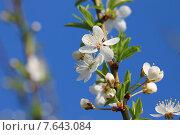 Цветущая ветка алычи. Стоковое фото, фотограф Валентин Родоманов / Фотобанк Лори