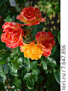 Роза флорибунда Солей дю Монд (лат. Soleil Du Monde) Стоковое фото, фотограф lana1501 / Фотобанк Лори