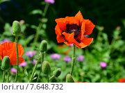 Маки цветы. Стоковое фото, фотограф Наталья Богуцкая / Фотобанк Лори