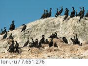 Купить «Flock of Double-Crested Cormorant (Phalacrocorax auritus) on the coast, Lake of The Woods, Ontario, Canada», фото № 7651276, снято 15 июля 2013 г. (c) Ingram Publishing / Фотобанк Лори