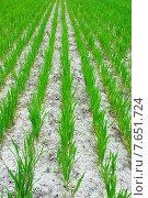 Зеленые ростки крупным планом. Стоковое фото, фотограф Анатолий Хвисюк / Фотобанк Лори