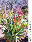 Купить «Full length of blossoming Aloe caesia», фото № 7652016, снято 23 октября 2018 г. (c) Яков Филимонов / Фотобанк Лори