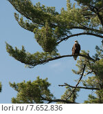 Купить «Eagle perching on a tree, Lake of The Woods, Ontario, Canada», фото № 7652836, снято 8 июля 2013 г. (c) Ingram Publishing / Фотобанк Лори