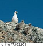 Купить «Seagull with chicks at coast, Lake of The Woods, Ontario, Canada», фото № 7652908, снято 18 июля 2013 г. (c) Ingram Publishing / Фотобанк Лори