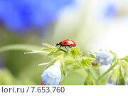 Купить «Божья коровка на стебельке цветка», фото № 7653760, снято 19 июня 2015 г. (c) Яна Королёва / Фотобанк Лори