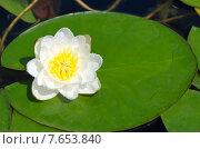 Купить «Белая кувшинка, или водяная лилия (лат. Nymphaea alba)», эксклюзивное фото № 7653840, снято 22 июня 2015 г. (c) Елена Коромыслова / Фотобанк Лори