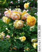 Купить «Роза кустарниковая Голден Селебрейшен (лат. Golden Celebration)», эксклюзивное фото № 7656380, снято 30 июня 2015 г. (c) lana1501 / Фотобанк Лори